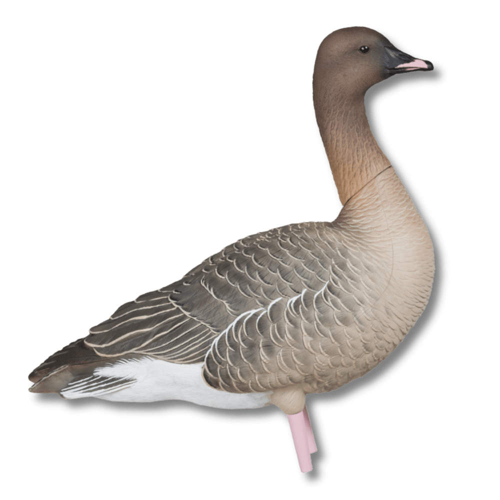 Image of Avian-X AXP Pinkfoots: Fusion Pack Goose Decoys